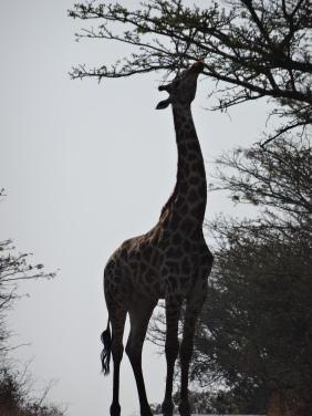DSC00606 - Giraffe